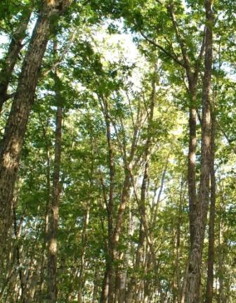 写真・図版 : ミズナラの林
