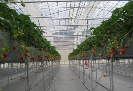 写真・図版 : 高設栽培のいちごハウス