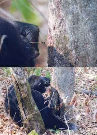 写真・図版 : チンパンジーが木の幹に小枝を差し込んで、オオアリを釣る=2001年、タンザニアのマハレ国立公園で筆者撮影(この画像は、2011年4月23日付本欄「人間は『感情』の葦でもある」にも掲載した)
