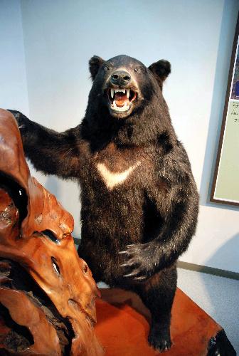 写真・図版 : 1987年に九州で見つかったクマのはく製=大分県の豊後大野市歴史民俗資料館、丹治翔撮影