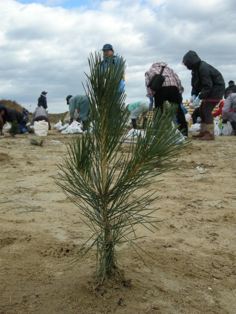 写真・図版 : 植樹式ではクロマツなどの苗が植えられた=仙台市若林区(筆者撮影)