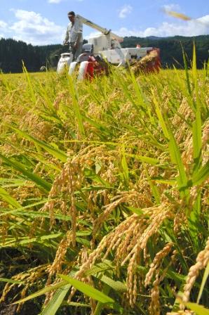 今年9月、秋田県で始まったコメの収穫。国内の稲作地域は、減反政策に揺れ続けてきた=秋田県北秋田市