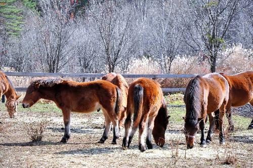 写真・図版 : 長野県の「木曽馬の里」で放牧される木曽馬