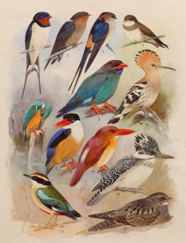 『日本鳥類大図鑑』11図原画、1938-41年頃(個人蔵)。ツバメ、カワセミなどが描かれている=町田市立博物館提供