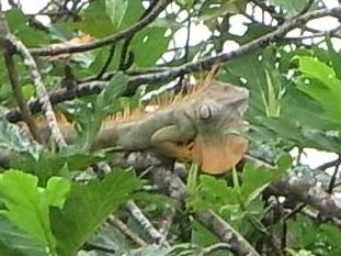 木の枝には保護色になったイグアナがいた