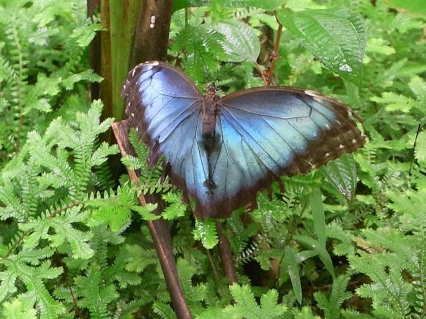 世界一美しいと言われるモルフォ蝶