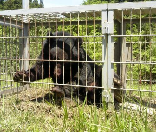 三重県で捕獲され、滋賀県内に放されたクマ(三重県提供)