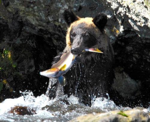 知床半島で、サケをとらえたヒグマ