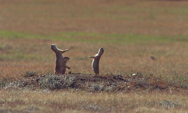 写真・図版 : 仲間に敵が来たことを警告するプレーリードッグ=アメリカ・サウスダコタ州のウインドケイブ国立公園