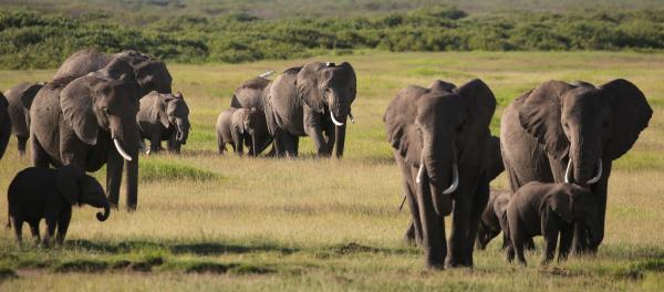 写真・図版 : 草原を歩くアフリカゾウの群れ=ケニア、三浦英之撮影