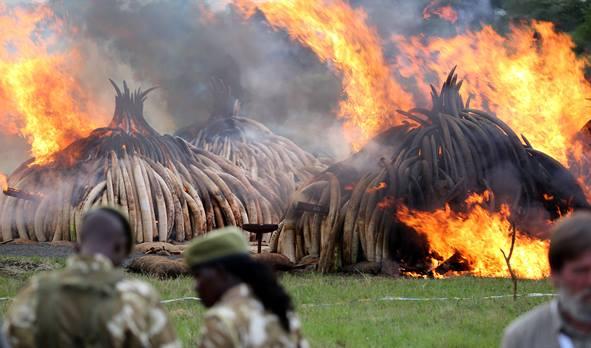 写真・図版 : ゾウの密猟撲滅を訴え、焼却される象牙=ケニア、三浦英之撮影