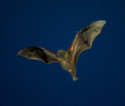 写真・図版 : 日没した後、ねぐらから飛び立つオガサワラオオコウモリ=小笠原・父島で、恒成利幸撮影
