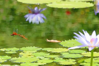 写真・図版 : 熱帯性の青いスイレンの咲く池を飛び回る赤いトンボ=高知県、根岸敦生撮影