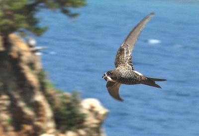 写真・図版 : 巣材を運ぶアマツバメ=和歌山県、入江正己さん撮影