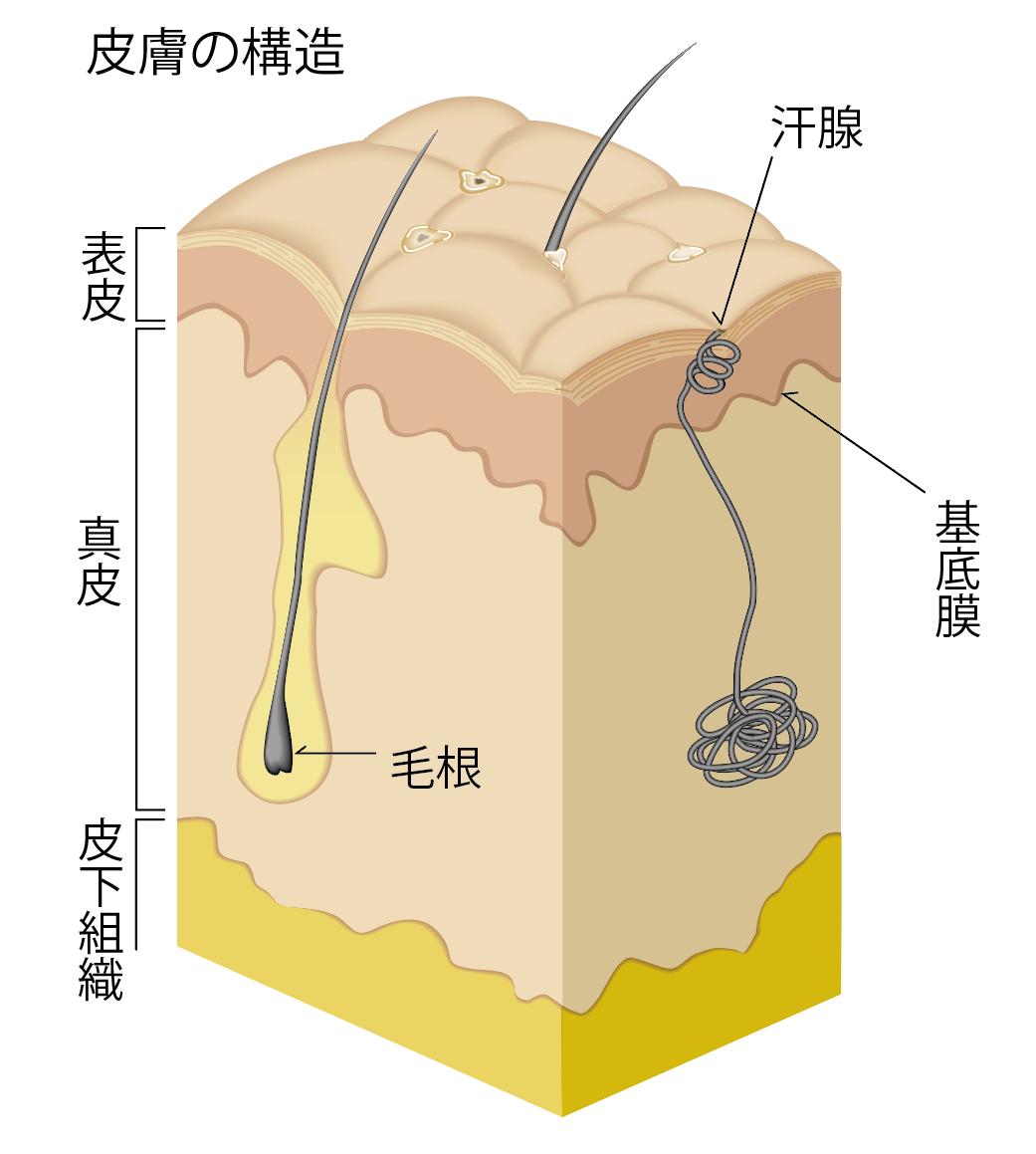 写真・図版 : 皮膚構造の概略