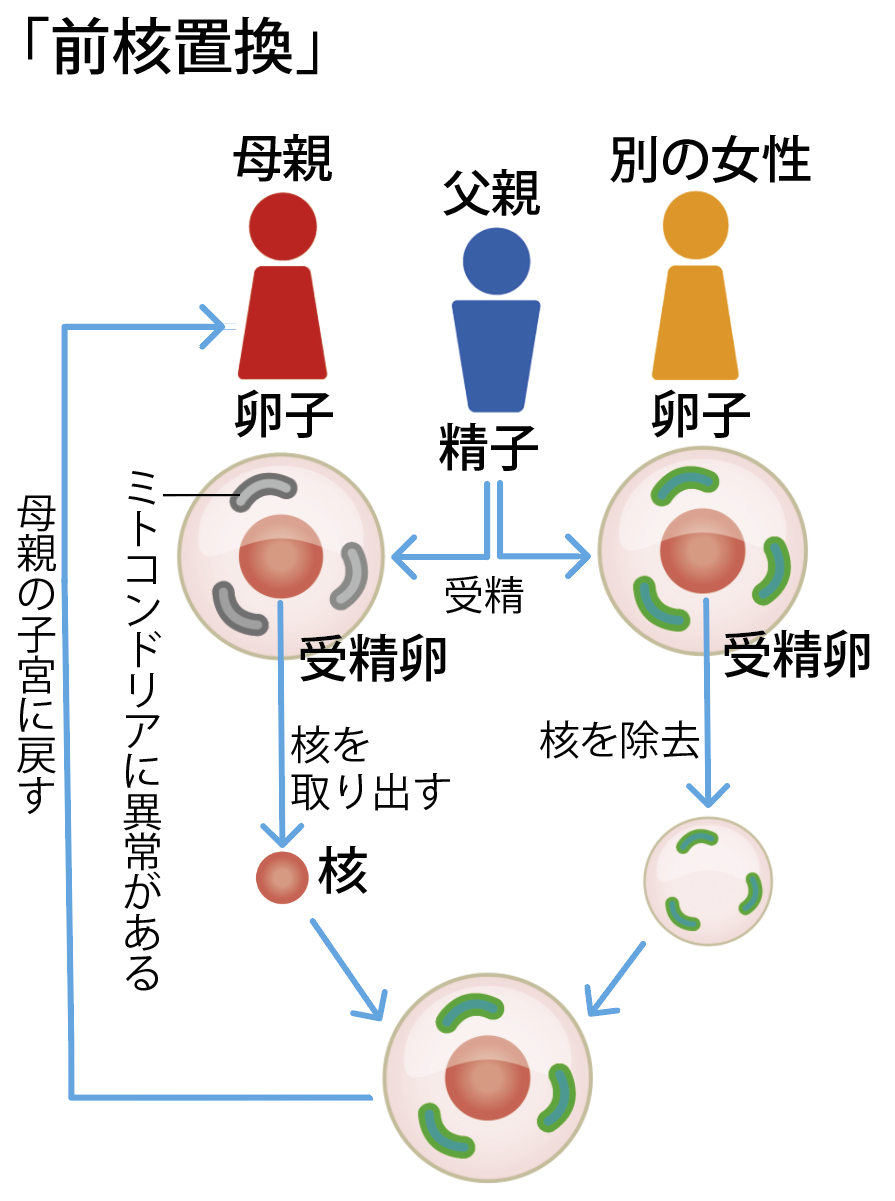 ミトコンドリア置換の方法のひとつ、前核置換