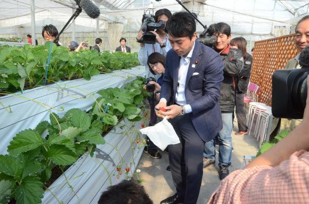 農園でイチゴを摘む小泉進次郎氏=福岡県筑紫野市