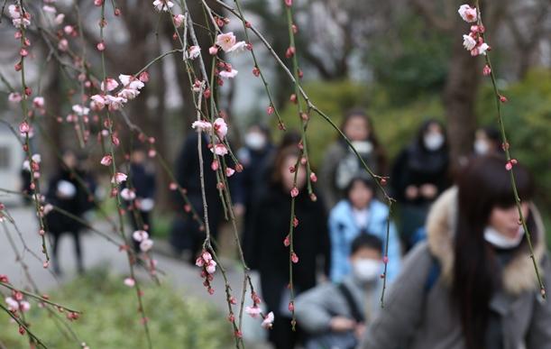 梅の花がほころび始めるなか、入試会場に向かう受験生ら=2016年2月1日、東京都世田谷区