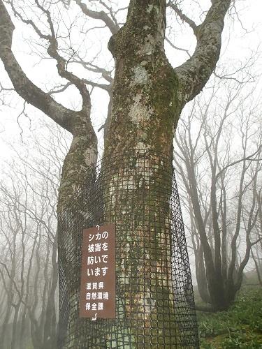 写真・図版 : シカの食害を避けるため、滋賀県は一部のオオイタヤメイゲツにネットを巻いている