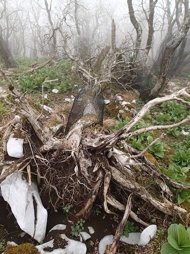写真・図版 : このオオイタヤメイゲツはネットを巻かれた状態で根から倒れていた