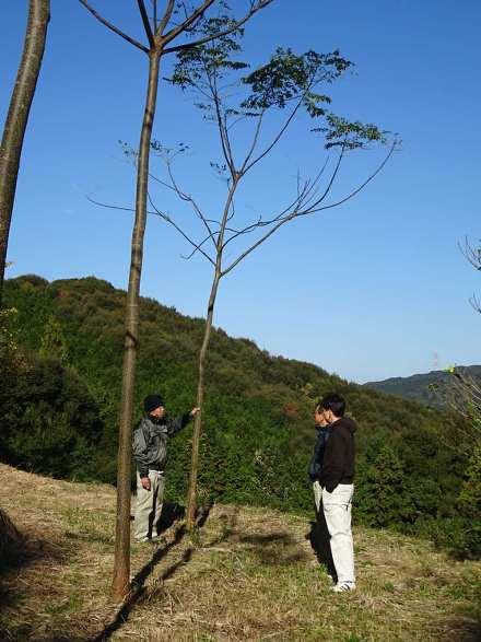 写真・図版 : 耕作放棄地に植えたセンダン。苗木からまる4年目に入るころで、樹高は約8メートル、胸高直径は約12センチに育っている=2016年12月11日、熊本県苓北町
