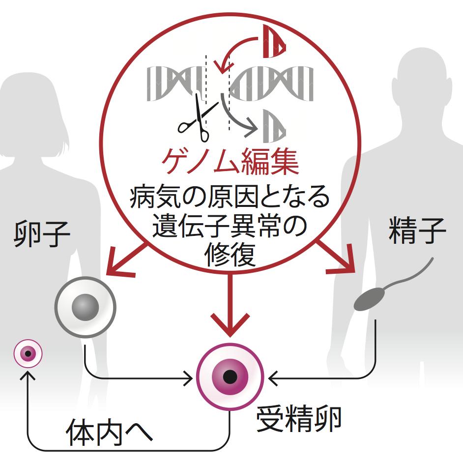 写真・図版 : ゲノム編集を利用した遺伝病予防のイメージ