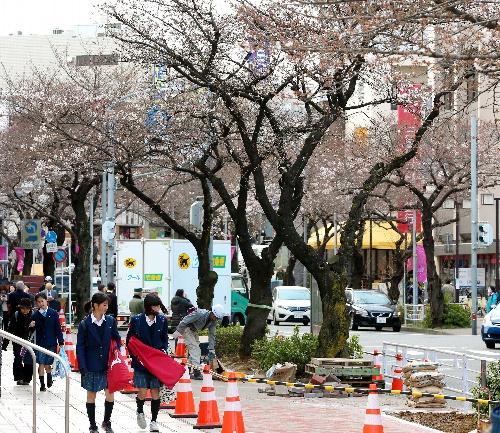 たまプラーザ駅前のサクラ並木は、ソメイヨシノの一部がコンパクトな品種に置き換えられる=横浜市