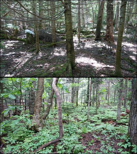 写真・図版 : 知床世界遺産の地域におけるシカを排除した植生保護柵の内(下)と外(上)の比較=森章氏提供