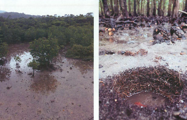 写真・図版 : 西表島のマングローブ林。有機物が分解せずに蓄積すればブルーカーボンになる=桑江朝比呂氏提供。