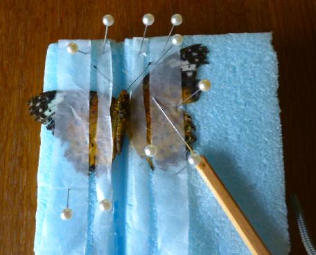 写真・図版 : 【写真3】展翅用テープ4本で仮止めしたツマグヒョモン(♀)。右側の翅を展翅し、左側の翅を展翅しようとしているところ。仮止めの玉針を外して左中指と人差し指で押さえ、右手で真ん中にある柄付き針(えつきばり)で、左翅を上の方に持っていく。このとき細いテープと広いテープの隙間を利用して柄付き針でつついていく。