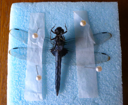 写真・図版 : 【写真5】ひっくり返し法で展翅したオオシオカラトンボの♂