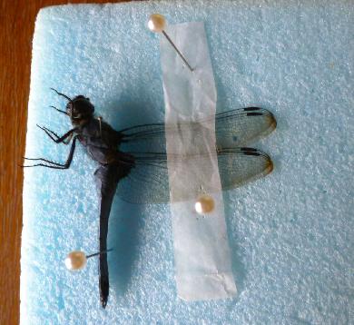 写真・図版 : 【写真6】横向け法で展翅したオシオカラトンボの♂。
