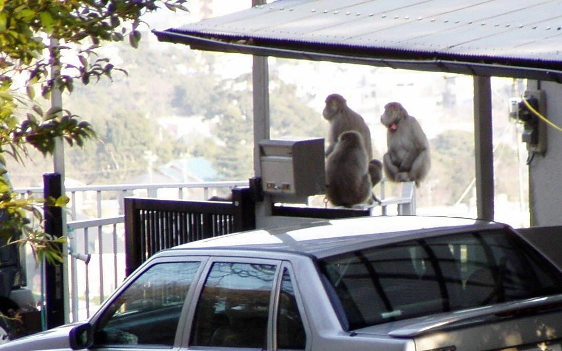 写真・図版 : 住宅街の車庫でくつろぐサルたち=2004年、小田原市、清水弟撮影