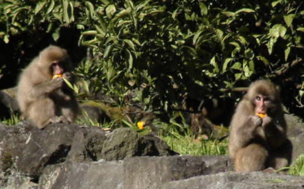 ニホンザルの猿害問題の悩ましさ