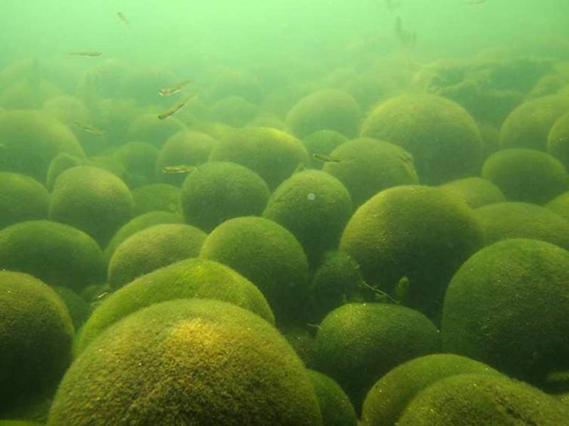 阿寒湖の湖底に群生する球状マリモ(若菜勇さん提供)