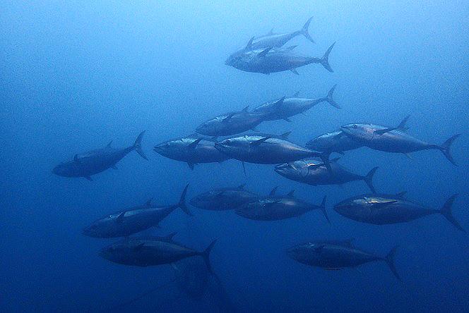 水産庁マグロ規制の漁獲枠配分に問題あり