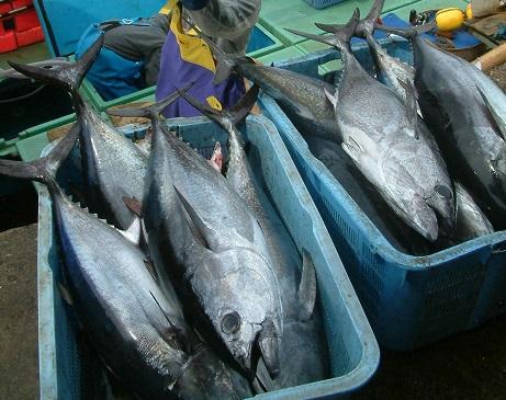 写真・図版 : クロマグロの幼魚「ヨコワ」=2006年、長崎県対馬市