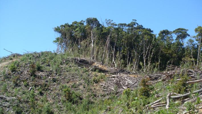 写真・図版 : やんばるの森で進められる皆伐(筆者撮影)