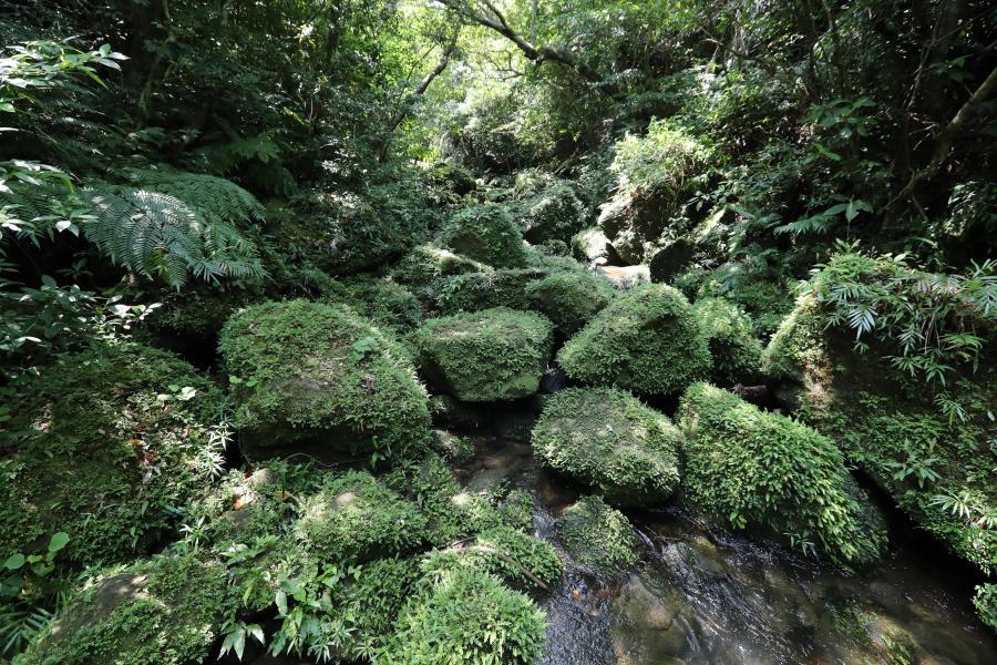 写真・図版 : 人が訪れない密林の奥には岩を覆うこけがそのまま残り美しい景色を作り出していた=2018年4月27日、沖縄県竹富町の西表島、小宮路勝撮影