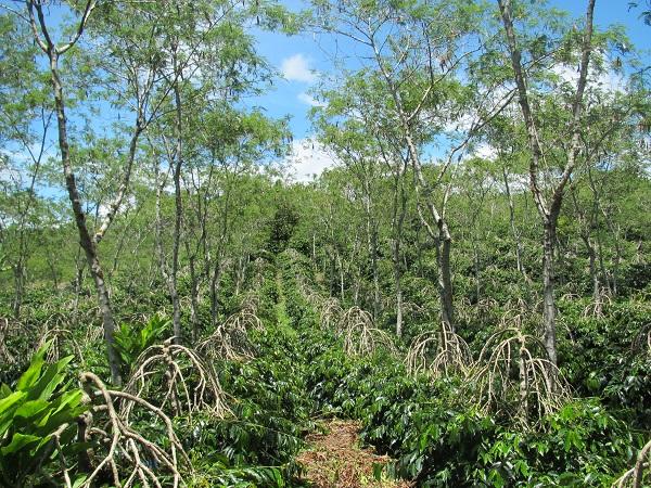 写真・図版 : コーヒーの木とシェードツリーが植えられたインドネシアの小規模農園=原田一宏さん提供
