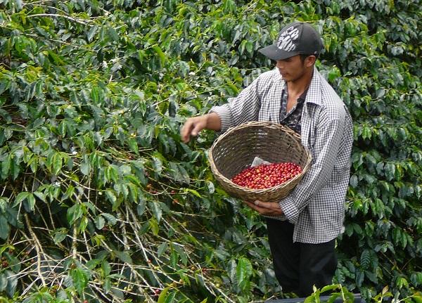 写真・図版 : 手作業によるコーヒー豆の収穫=原田一宏さん提供