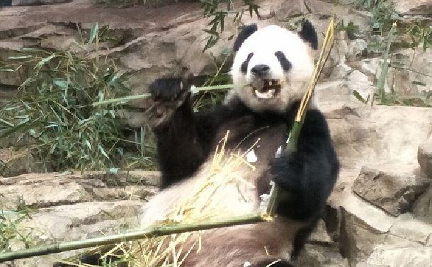 写真・図版 : オスのティエン・ティエン(添添)。20歳で人間でいえば古稀にあたるという。2000年暮れ、メスのメイ・シャン(美香)と一緒に四川省からやってきた。3頭の子供をもうけたが、2頭はすでに中国に戻された=2018年5月26日、ワシントン・スミソニアン動物園。吉岡桂子撮影