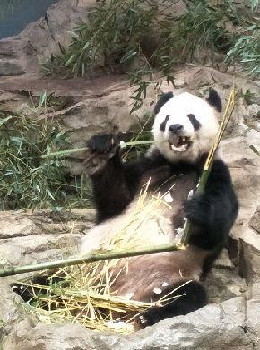 オスのティエン・ティエン(添添)。20歳。人間でいえば古稀にあたるという。2000年暮れ、メスのメイ・シャン(美香)と一緒に四川省からやってきた。3頭の子供をもうけたが、2頭はすでに中国に戻された=2018年5月26日、ワシントン・スミソニアン動物園。吉岡桂子撮影