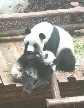 写真・図版 : 1歳になるユワン・モン(円夢)=下=と母親のホワン・ホワン(歓歓)=2018年7月29日、フランス中部ボーバル動物園。吉岡桂子撮影パンダの親子