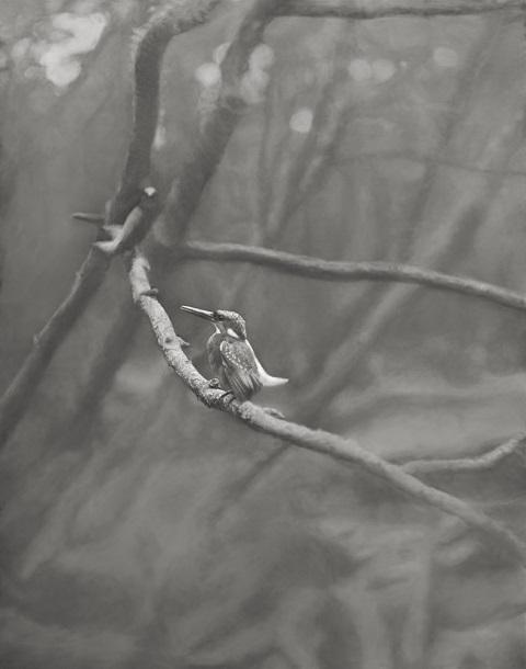 写真・図版 : 「原板第1号」のカワセミ=1922年1月5日、佐賀市(下村兼史撮影、山階鳥類研究所所蔵)