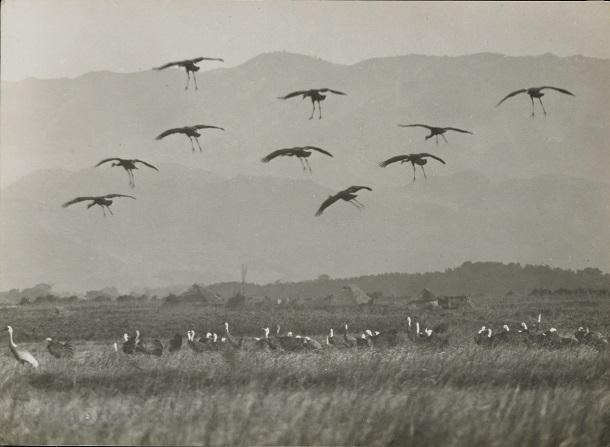写真・図版 : ナベヅルの降下飛翔=1928年1月25日、鹿児島県荒崎(下村兼史撮影、山階鳥類研究所所蔵)
