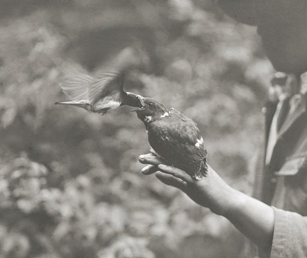 写真・図版 : 手の上のジュウイチの雛に給餌するオオルリ=1929~31年ごろ、静岡県須走(下村兼史撮影、山階鳥類研究所所蔵)