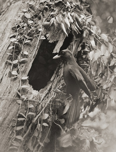 写真・図版 : 巣穴に飛び込むルリカケス=1935年4月20日、鹿児島県奄美大島(下村兼史撮影、山階鳥類研究所所蔵)