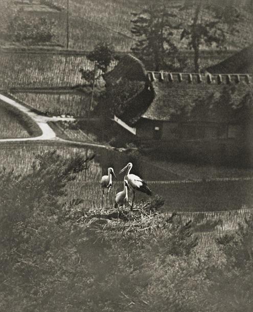 写真・図版 : 国内で絶滅する前のコウノトリ。巣の中に親鳥1羽と巣立ちが近いひな2羽がいる=1920年代後半、兵庫県出石(下村兼史撮影、バード・フォト・アーカイブス所蔵)
