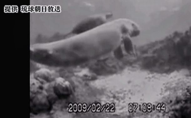 極秘映像!辺野古を泳ぐジュゴン、海ガメを連れて